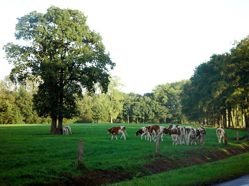 De Notenwei | Koeien in de wei